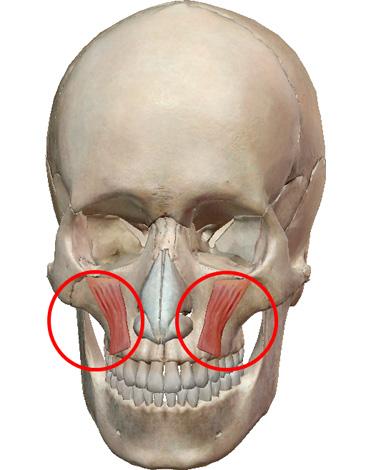 Мышца, отвечающая за поднятие уголков губ и растягивание их в улыбке