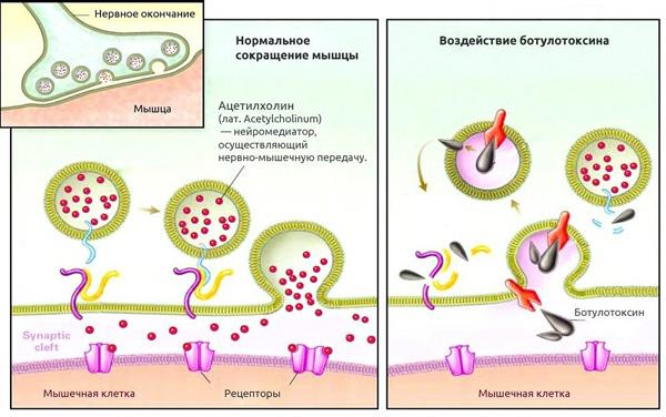 Как ботулотоксин воздействует на мышечную клетку