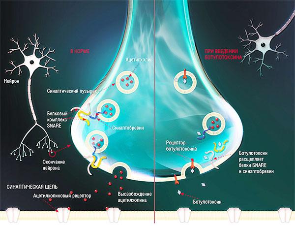 Действие ботулотоксина на нервную клетку